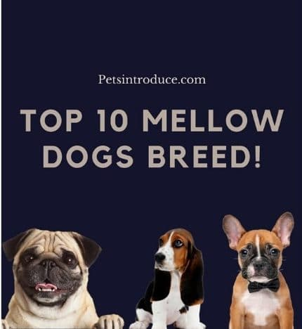Top Most Mellow Dog Breeds