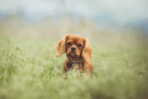Pets Introduce king charles spaniels,dog breeds Mellow dog breeds