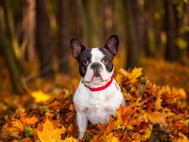 Pets Introduce french bulldog mellow dog breeds