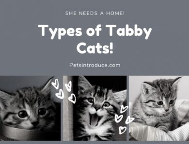 Types of Tabby Cats
