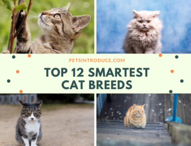 12 Most Smartest Cat Breeds in the World